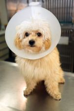 chien cataracte colerette