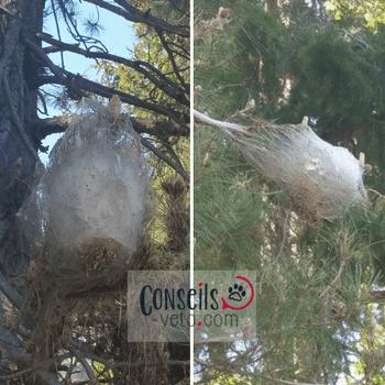 nids de chenilles processionnaires