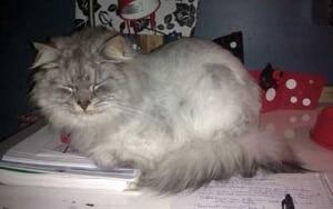 chat rasé rafraichir chaleur canicule
