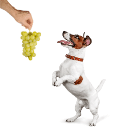 toxicité raisin chien