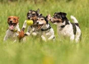 contamination chiens toux de chenil