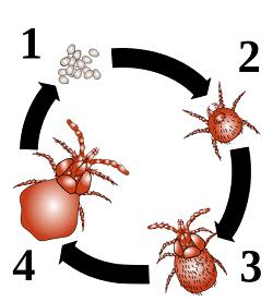 cycle de vie de l'aoutat pas dans la maison