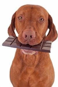 chien mange chocolat intoxication que faire
