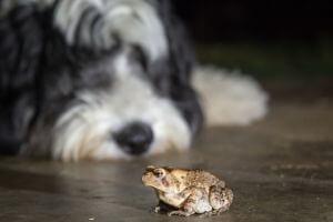 envenimation intoxication chien par crapaud