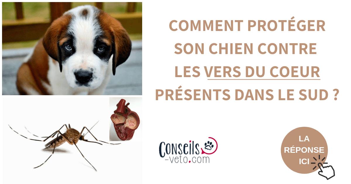 Vers Du Coeur Chez Le Chien Et Le Chat Dirofilariose