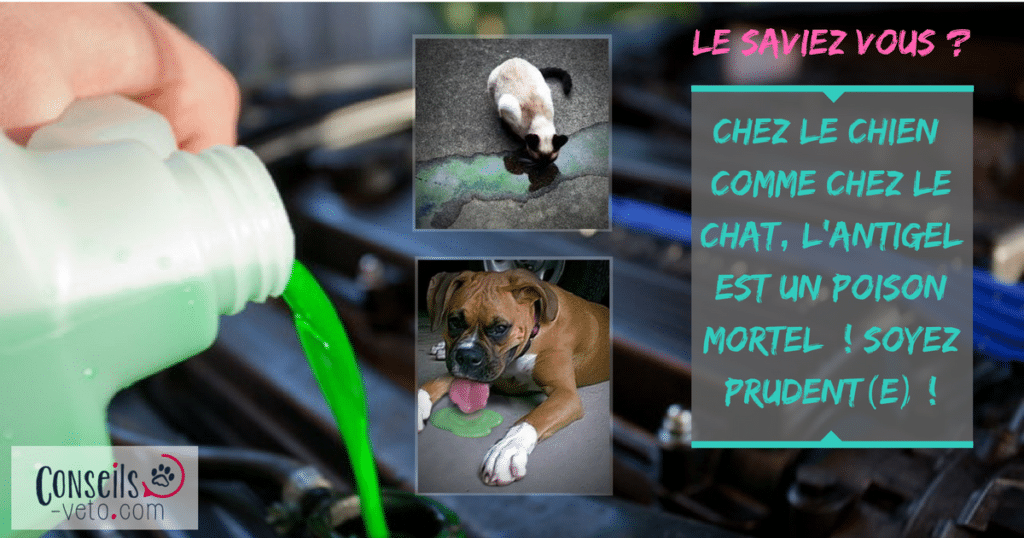 Nos amis les animaux. - Page 3 Intoxication-antigel-chien-chat-ethylene-glycol