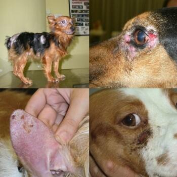 symptomes-leishmaniose-chien
