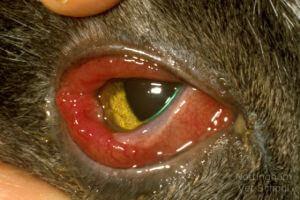 inflammation oeil chien