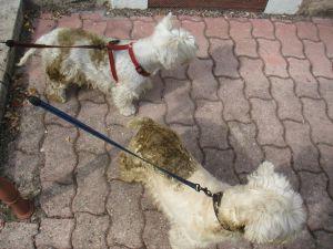 chien qui mange son caca