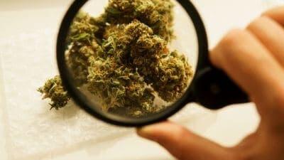 dose toxique cannabis chien