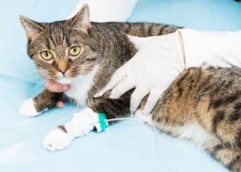 typhus chat traitement symptômes