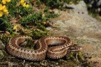 piqure serpent vipere chat chien