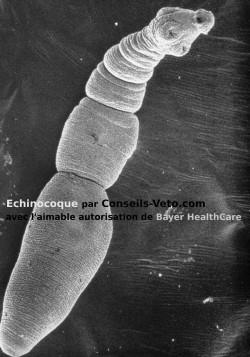 echinocoque intestin chien