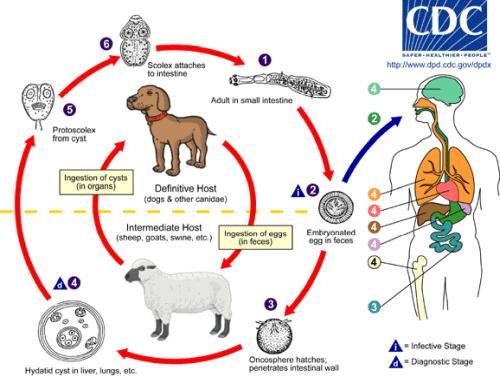 echinococcus granulosus cycle-contamination chien mouton